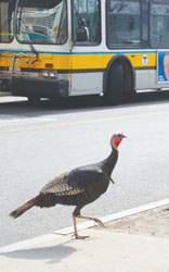 The Big Comeback: Once Gone, Turkeys are Now a Common Sight in Most Communities, Even in the City
